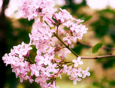 JSC_980508_Lilac_at_Fankhausers